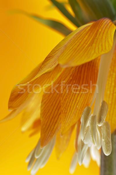 Gyönyörű virág korona liliom szépség növény Stock fotó © Kidza