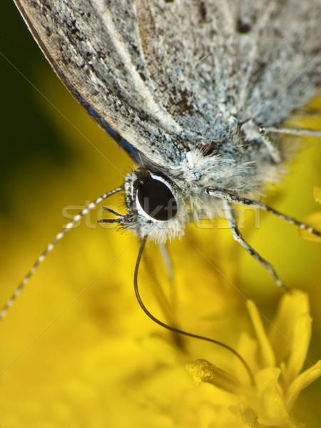Kelebek kafa sarı çiçek detay çiçek doğa Stok fotoğraf © Kidza