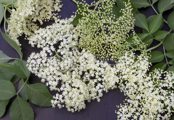 Aîné fraîches fleurs sombre fleur printemps Photo stock © Kidza