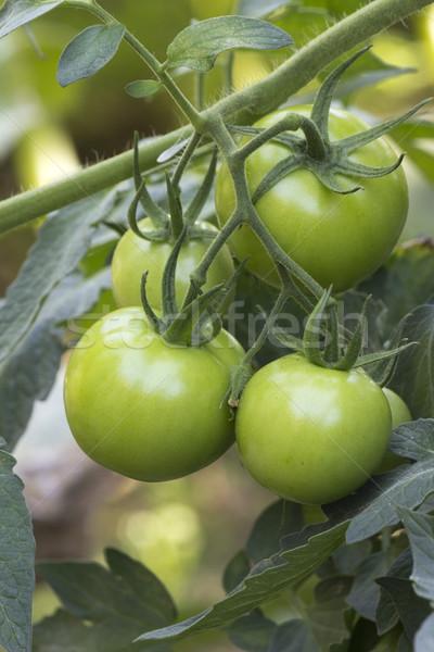 Zöld paradicsomok kert mezőgazdaság természet paradicsom Stock fotó © Kidza