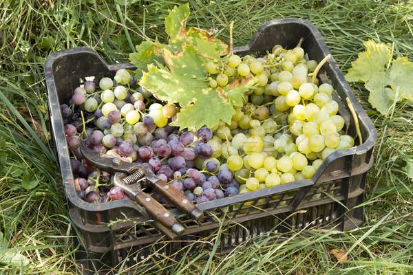 Mand druiven Rood witte natuur groene Stockfoto © Kidza
