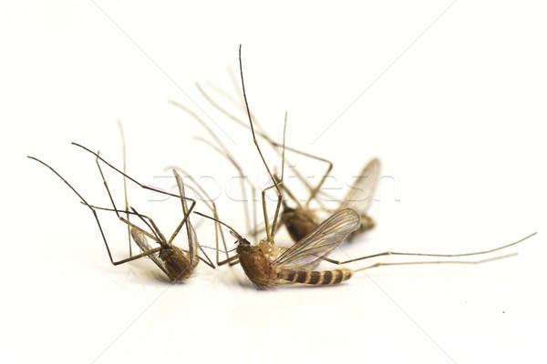 3  蚊 孤立した 白 自然 汚い ストックフォト © Kidza