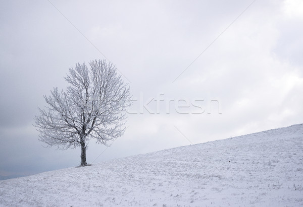 Lonely winter tree Stock photo © Kidza