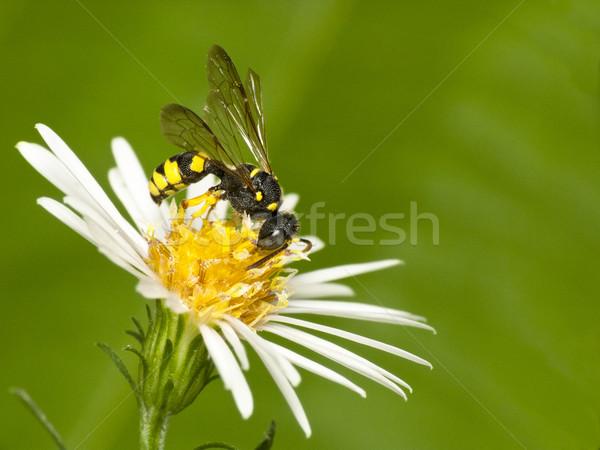 Piccolo colorato vespa nero animale giallo Foto d'archivio © Kidza