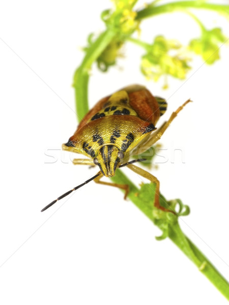 Bouclier bug isolement blanche nature insecte Photo stock © Kidza