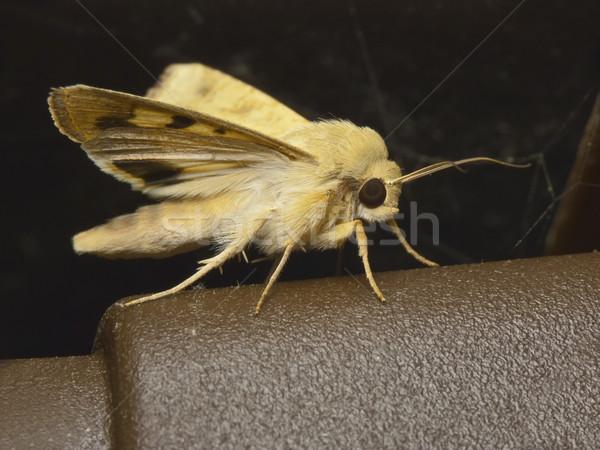 Gece kelebek doğa hayvan kanatlar Stok fotoğraf © Kidza