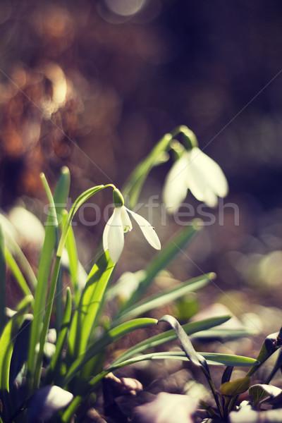 çiçek erken bahar bahçe Stok fotoğraf © Kidza