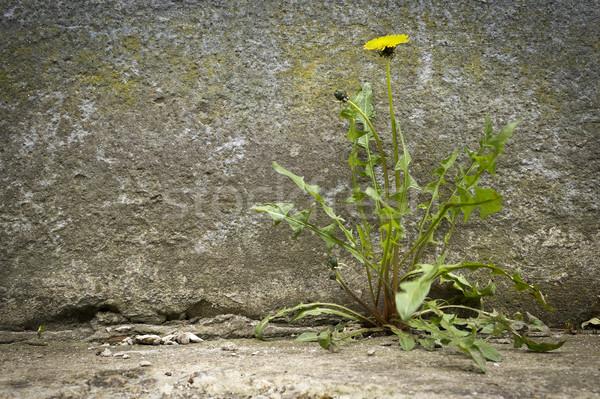Karahindiba çiçek büyüyen çatlamak bahar çim Stok fotoğraf © Kidza