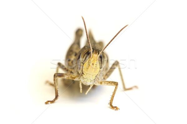 Konik polny odizolowany biały zielone nogi owadów Zdjęcia stock © Kidza