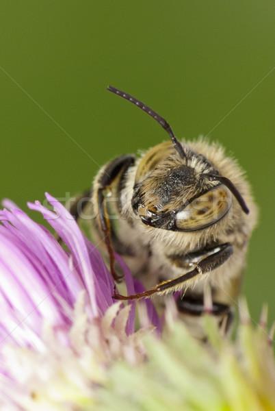 Abelha verão trabalhando inseto macro ao ar livre Foto stock © Kidza