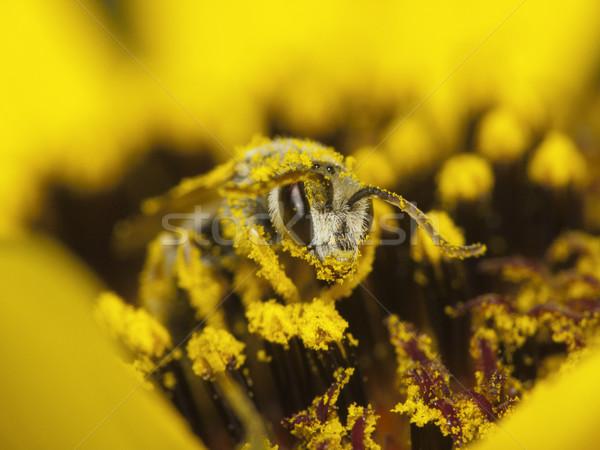 Bee nectar stuifmeel gedekt gele bloem bloem Stockfoto © Kidza