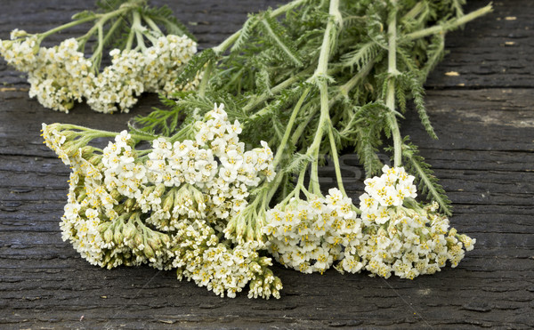 White Yarrow (Achillea millefolium) Stock photo © Kidza