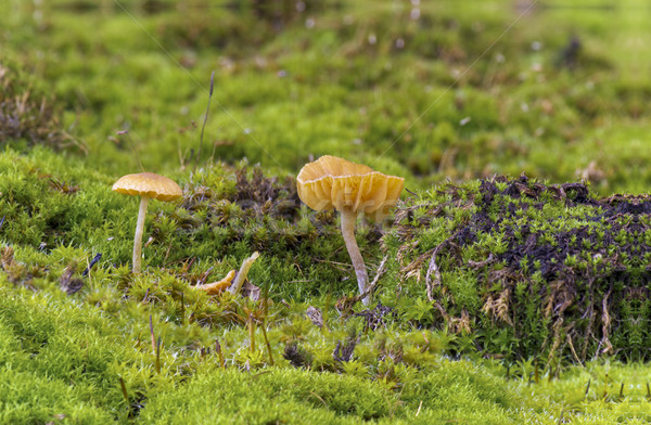 Mushrooms and moss Stock photo © Kidza