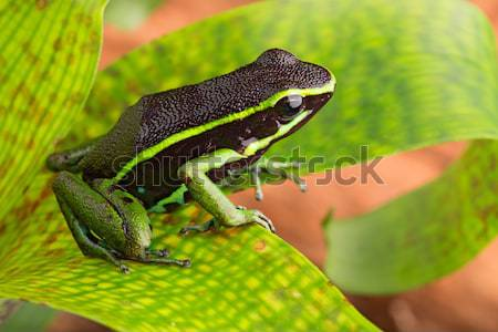 striped poison dart frog Stock photo © kikkerdirk
