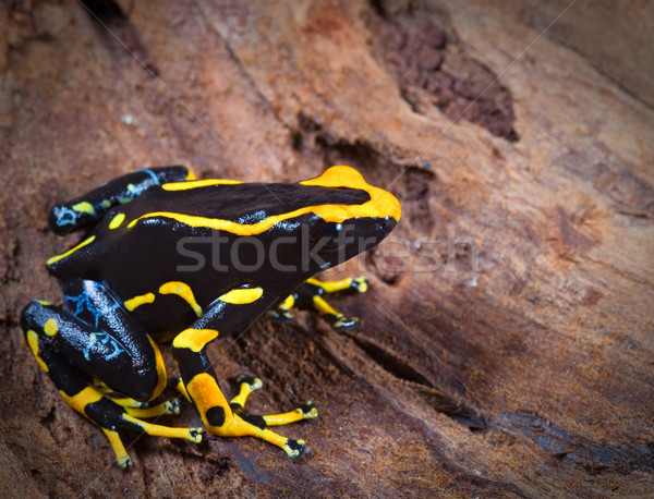 orange and black poison dart frog Stock photo © kikkerdirk