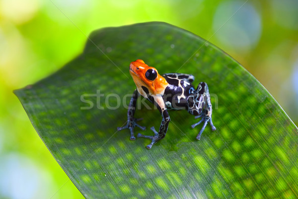 poison arrow frog Stock photo © kikkerdirk