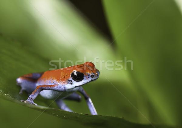 strawberry poison frog Stock photo © kikkerdirk
