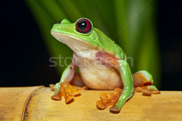 flying tree frog Agalychnis spurrelli Stock photo © kikkerdirk
