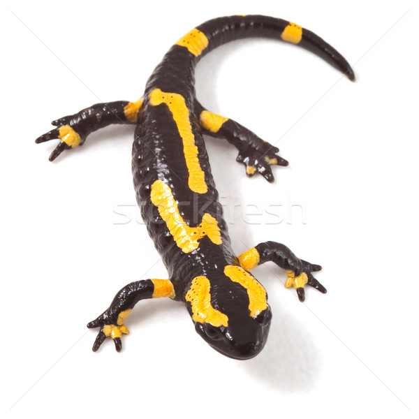 poisonous animal fire salamander Stock photo © kikkerdirk