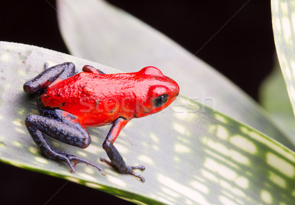 strawberry poison arrow frog Stock photo © kikkerdirk