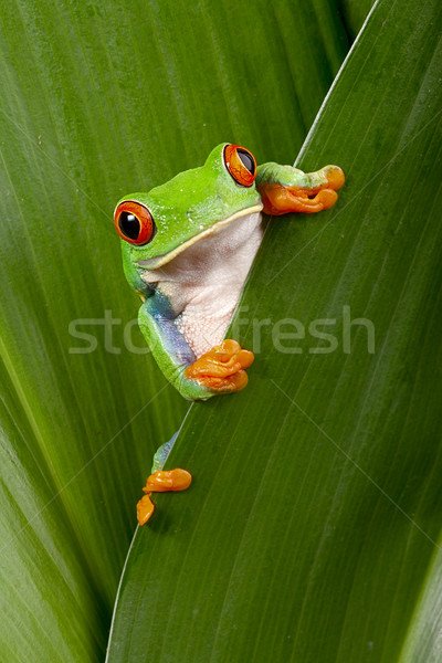 red eyed tree frog peeping Stock photo © kikkerdirk
