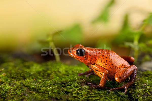 Kırmızı kurbağa çilek zehir pens parlak Stok fotoğraf © kikkerdirk