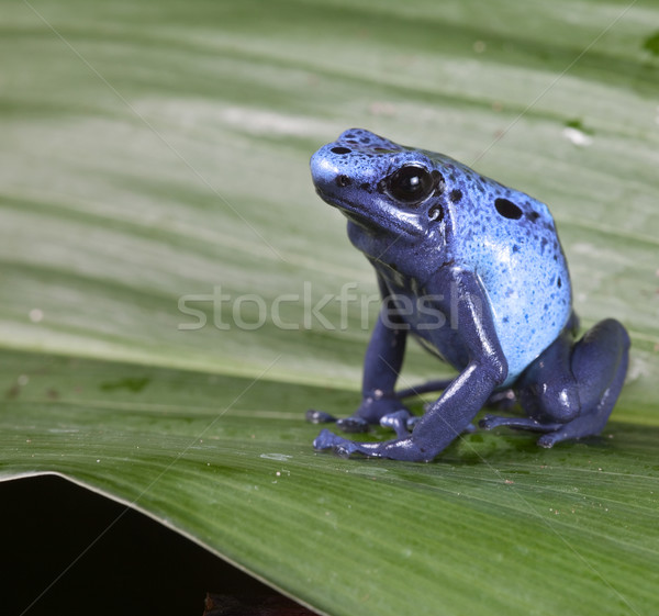 blue poison dart frog Stock photo © kikkerdirk