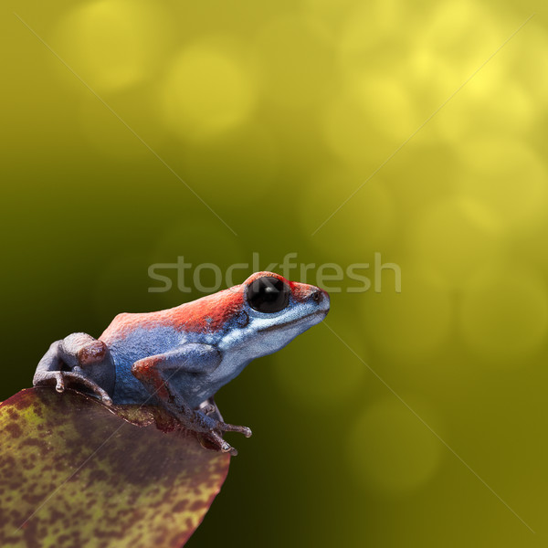 Strawberry poison dart frog Stock photo © kikkerdirk