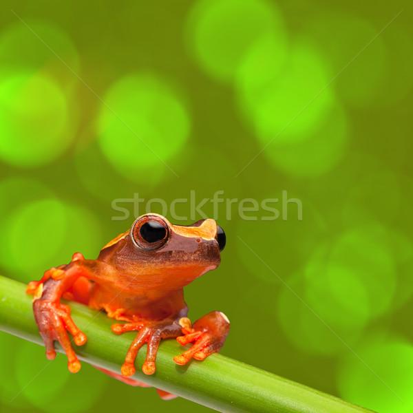 Rood boomkikker klimmen tropische amazon regenwoud Stockfoto © kikkerdirk