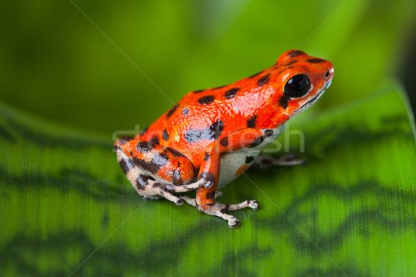 Rood gif kikker blad Panama regenwoud Stockfoto © kikkerdirk