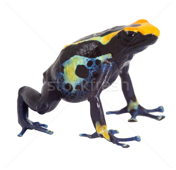 poison dart frog isolated Stock photo © kikkerdirk