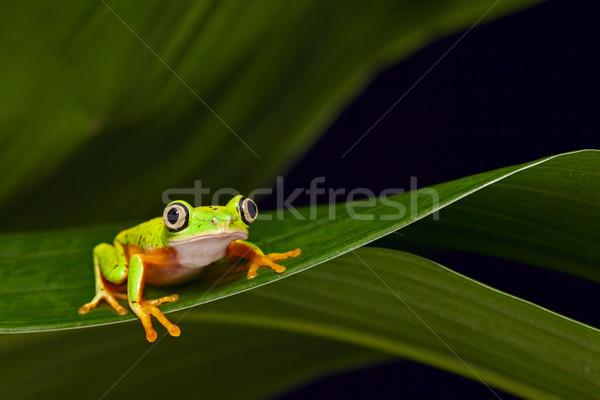Sarı kurbağa tropikal rainforest oturma yaprak Stok fotoğraf © kikkerdirk
