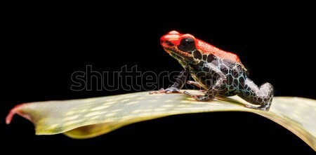 reticulated poison dart frog Stock photo © kikkerdirk