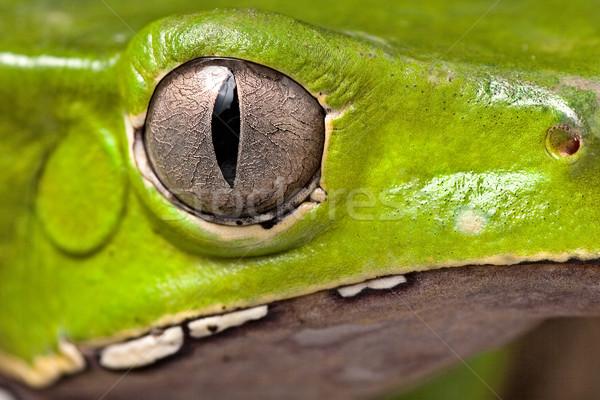 Kurbağa göz amfibi dikey güzel hayvan Stok fotoğraf © kikkerdirk