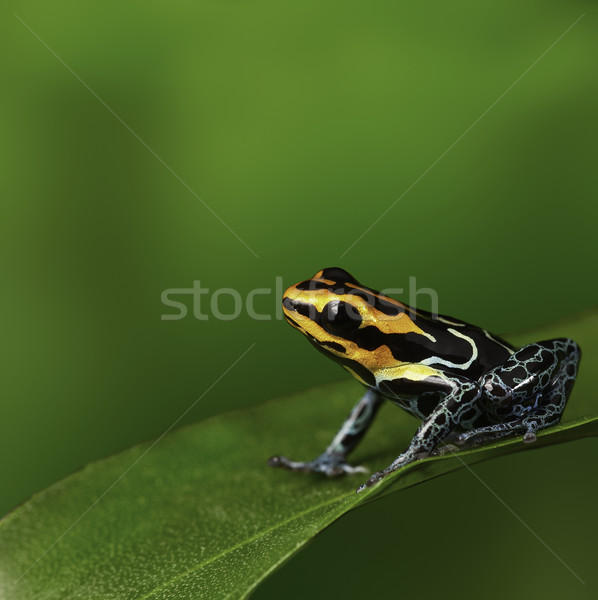 Gift Frosch amazon Peru arrow Stock foto © kikkerdirk