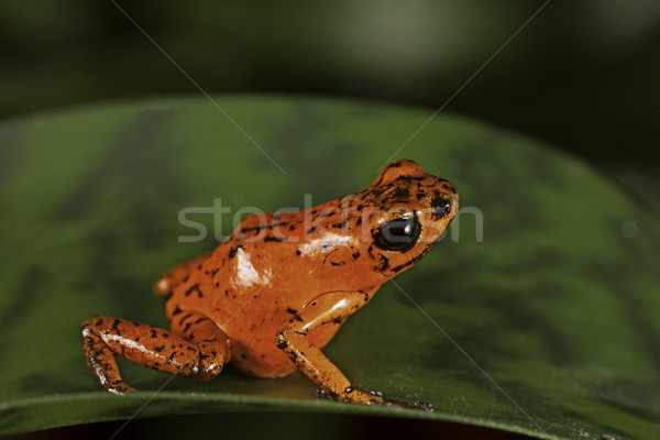 red poison frog Stock photo © kikkerdirk