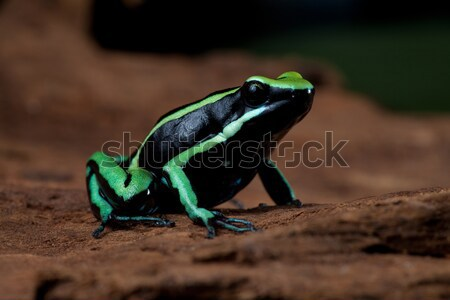 yellow black poison dart frog Stock photo © kikkerdirk