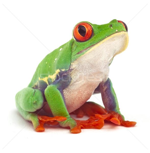 red eyed tree frog  treefrog Stock photo © kikkerdirk