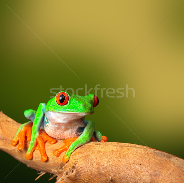 tropical red eyed treefrog Stock photo © kikkerdirk
