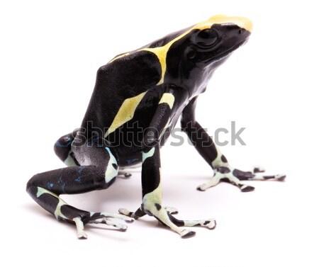 Méreg darts béka mérgező állat fényes Stock fotó © kikkerdirk