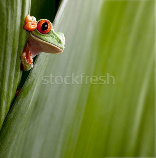 Piros levelibéka zöld esőerdő Costa Rica kíváncsi Stock fotó © kikkerdirk
