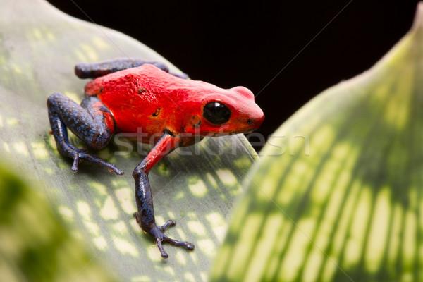 strawberry poison arrow frog Stock photo © kikkerdirk