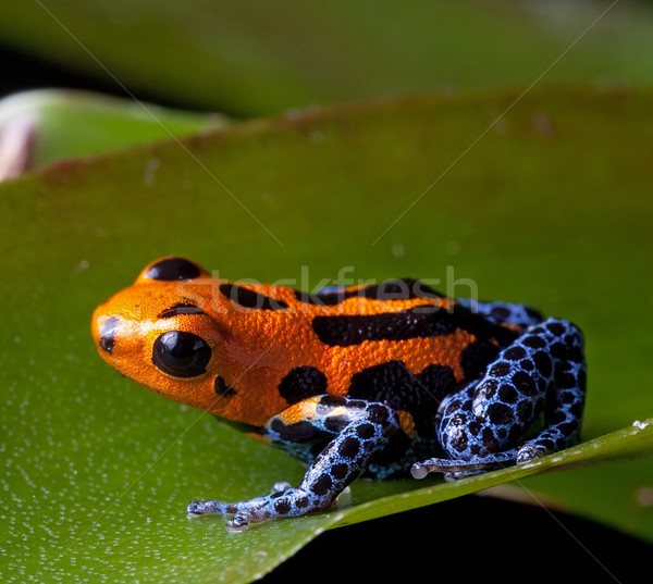 red striped poison dart frog blue legs Stock photo © kikkerdirk