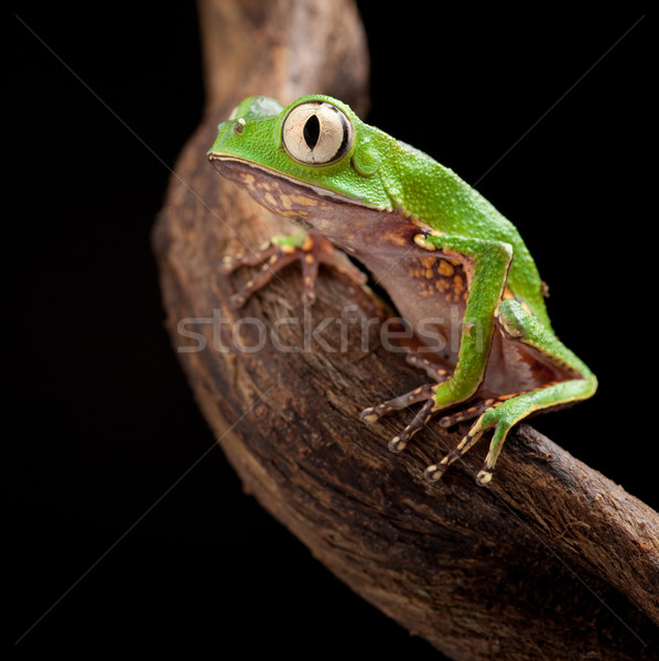 Boomkikker grote ogen tak tropische boom amazon Stockfoto © kikkerdirk