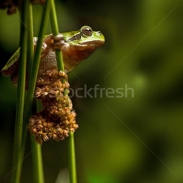 Levelibéka európai mászik növényzet zöld éjszaka Stock fotó © kikkerdirk