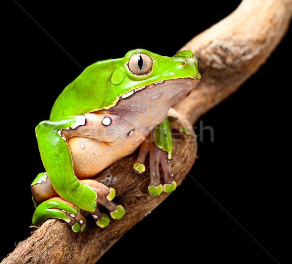 green tree frog amazon rain forest Stock photo © kikkerdirk