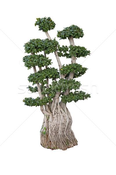 старые бонсай карлик дерево женьшень миниатюрный Сток-фото © kikkerdirk