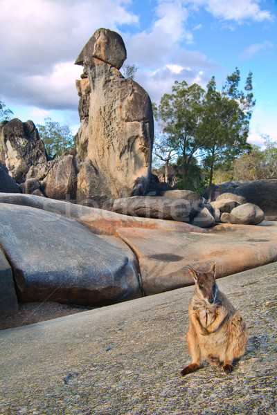 rock wallaby  Stock photo © kikkerdirk