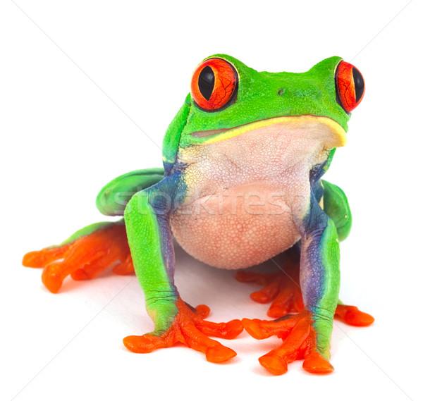 red eye treefrog Stock photo © kikkerdirk