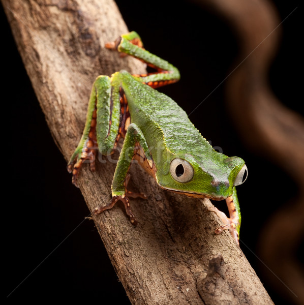 Kikker grote ogen tak tropische boom amazon Stockfoto © kikkerdirk